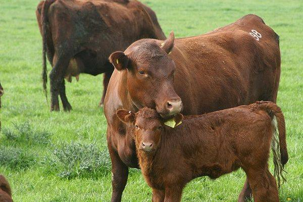 Комолая корова: это какая, описание и характеристика породы