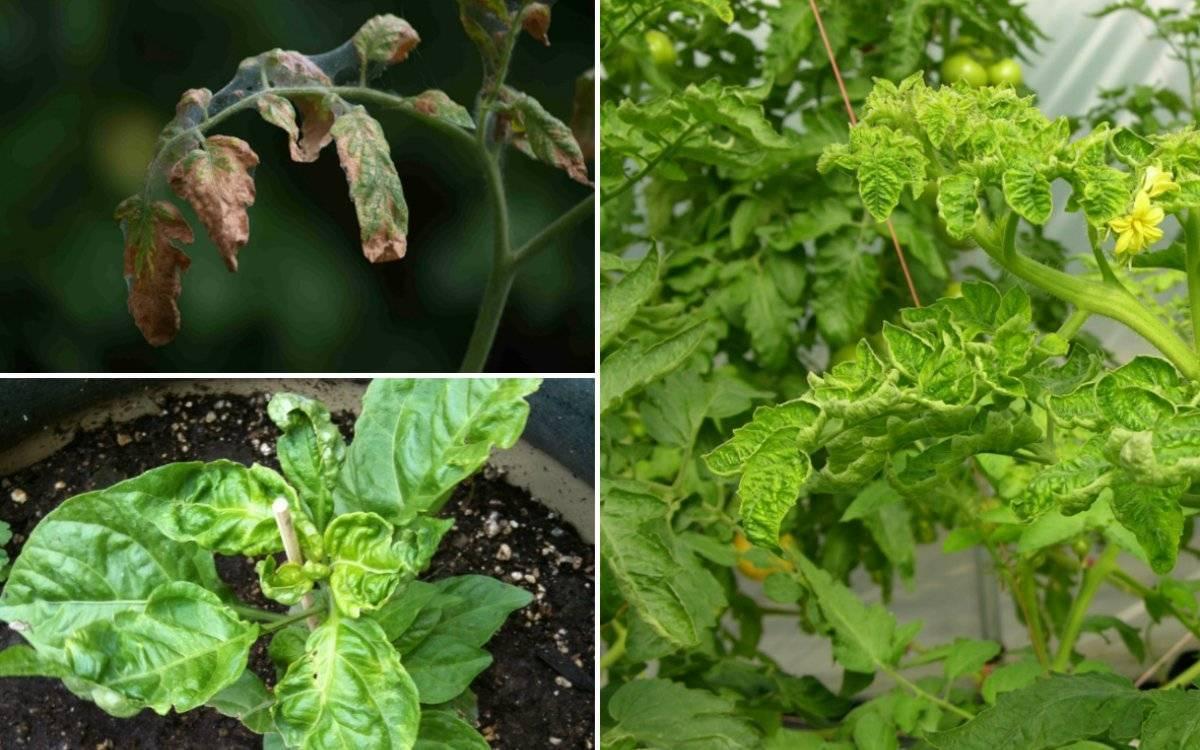 У помидоров скручиваются листья: что нужно срочно сделать?