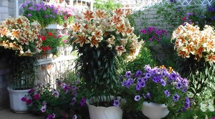 Лилейное дерево — посадка и уход, сорта, названия и описание