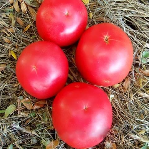 Томат «никола» (17 фото): характеристика и описание сорта помидор, отзывы