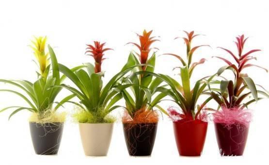 Уход в домашних условиях за растением гузмания, как поливать, как пересадить, почему не цветет, грунт, полив и размножение