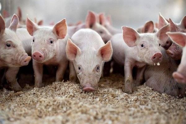 Содержание свиней | несменяемая ферментационная подстилка для свиней и цена на нее