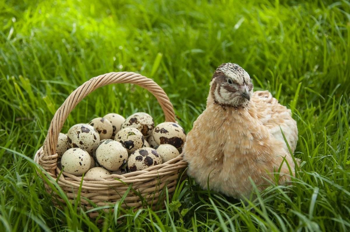 Содержание перепелов в домашних условиях: от размножения до выращивания