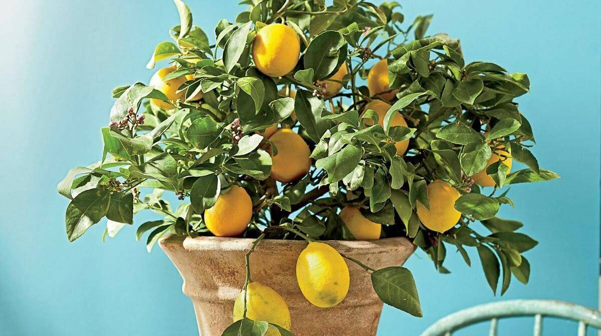 Выращивание лимона в домашних условиях и размножение его черенками