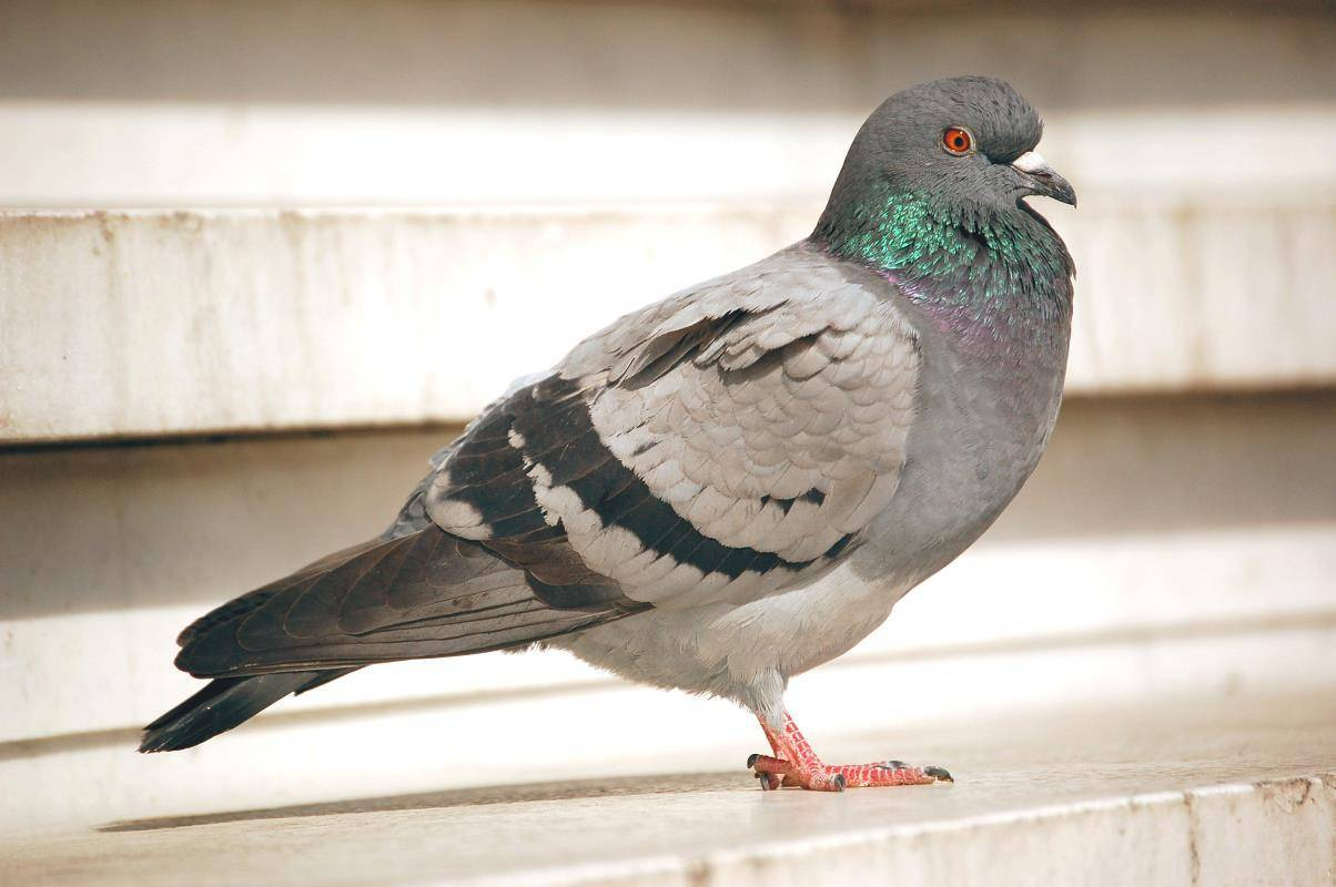 Как живут сизые голуби?