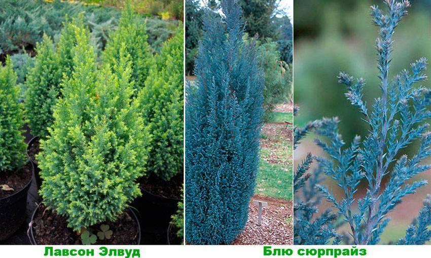 Chamaecyparis (кипарисовик) семейство кипарисовых (cupressaceae)