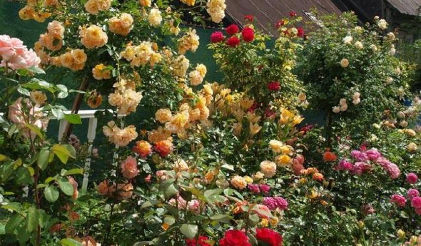 Розарий на даче своими руками фото: как красиво посадить розы в саду