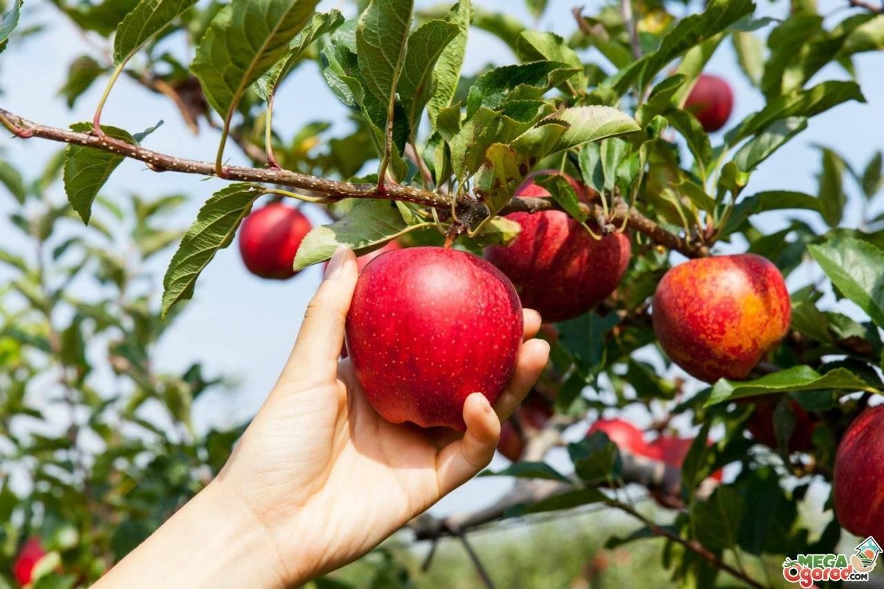 Характеристики сортов яблок с названиями и фото