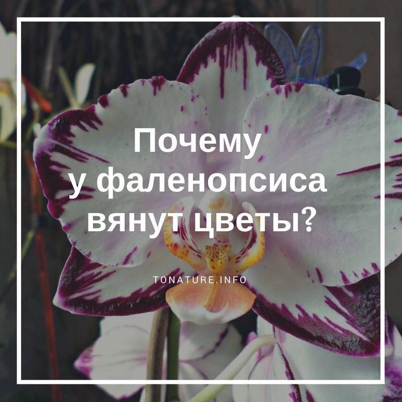 Что делать, если орхидея засохла? как ее спасти? почему сохнет стрела? как реанимировать орхидею, если она засыхает от недостатка влаги?