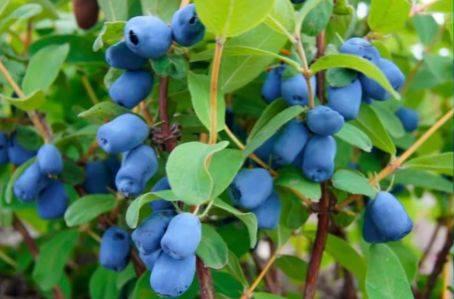 Княженика обыкновенная: описание растения, особенности посадки и ухода, полезные свойства ягоды