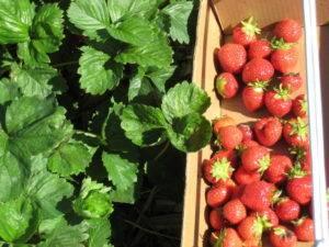 Клубника монтерей: описание сорта, фото и отзывы садоводов