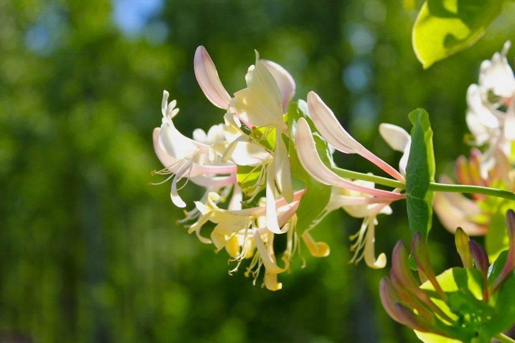 Жимолость каприфоль (ароматная лиана): посадка, уход, размножение черенками и семенами, фото