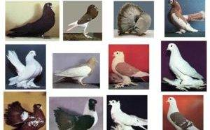 Английские голуби породы типплер