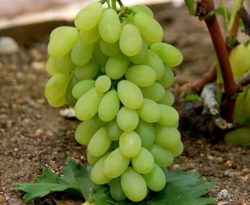 Сорт винограда кишмиш запорожский с описанием и фото