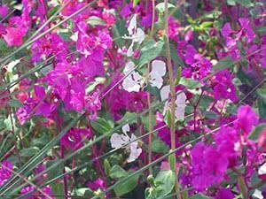 Кларкия изящная - 78 фото красивого травянистого растения для сада