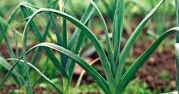 Выращивание лука-порея через рассаду: посадка и уход в открытом грунте