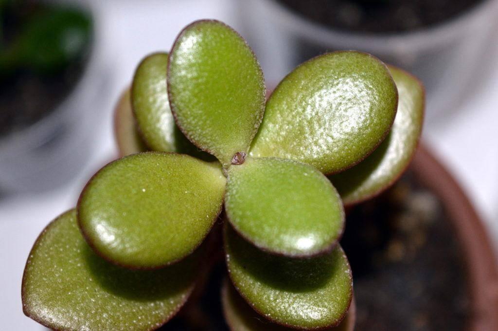 Денежное дерево: описание, уход и размножение