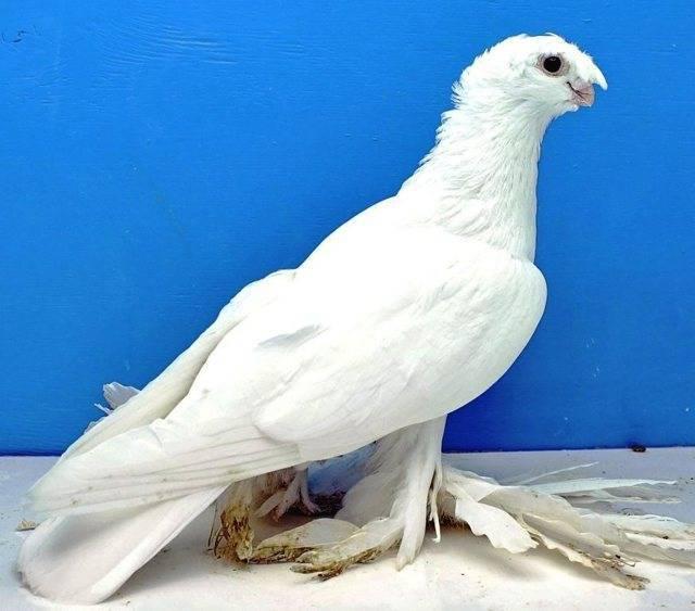 Узбекские голуби: разновидности породы и их описание