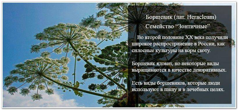 Как выглядит растение Борщевик: описание, фото