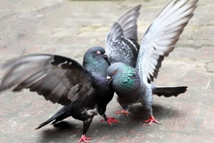 Как не спутать голубя с голубкой: рассматриваем эффективные методы