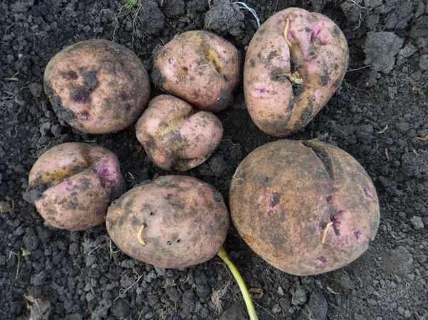 Как избавиться от проволочников на картофельном участке