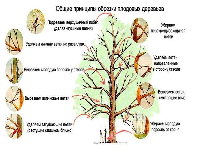 Правильная обрезка сливы осенью и весной