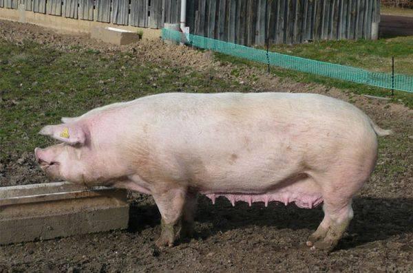 Признаки и помощь при опоросе вьетнамских свиней в первый раз в домашних условиях