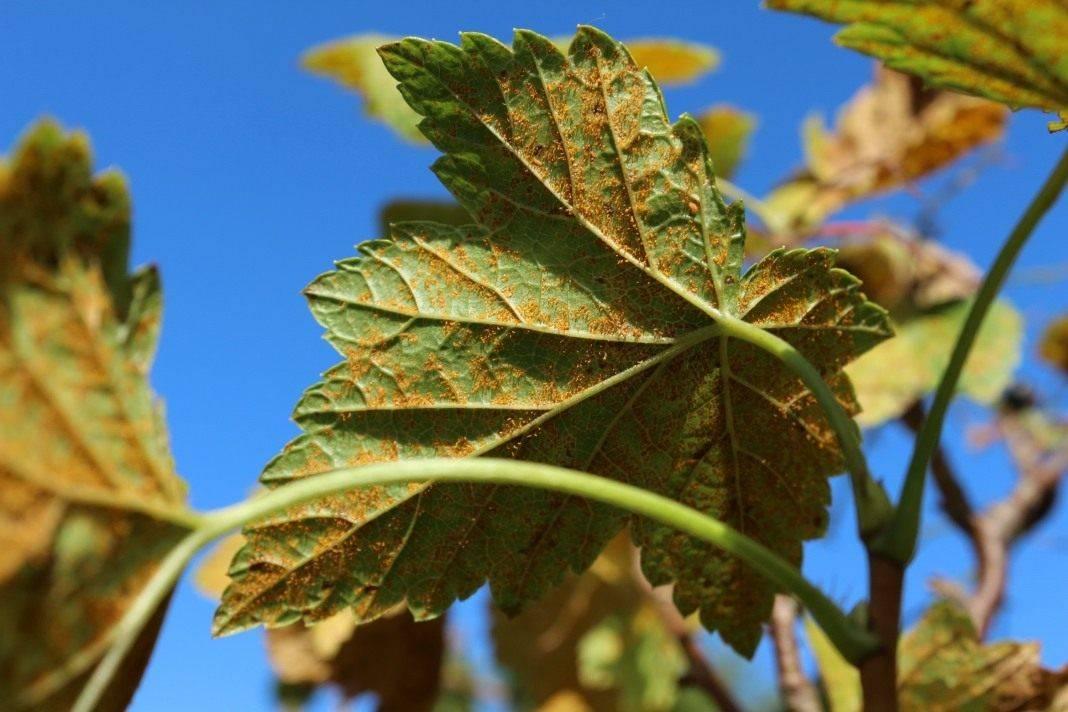 Серьезные причины, почему у яблони ржавеют листья