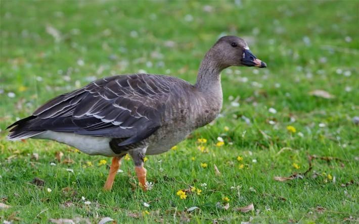 Гусь - виды и описание, названия, фото птиц | разновидности гусей в россии и мире