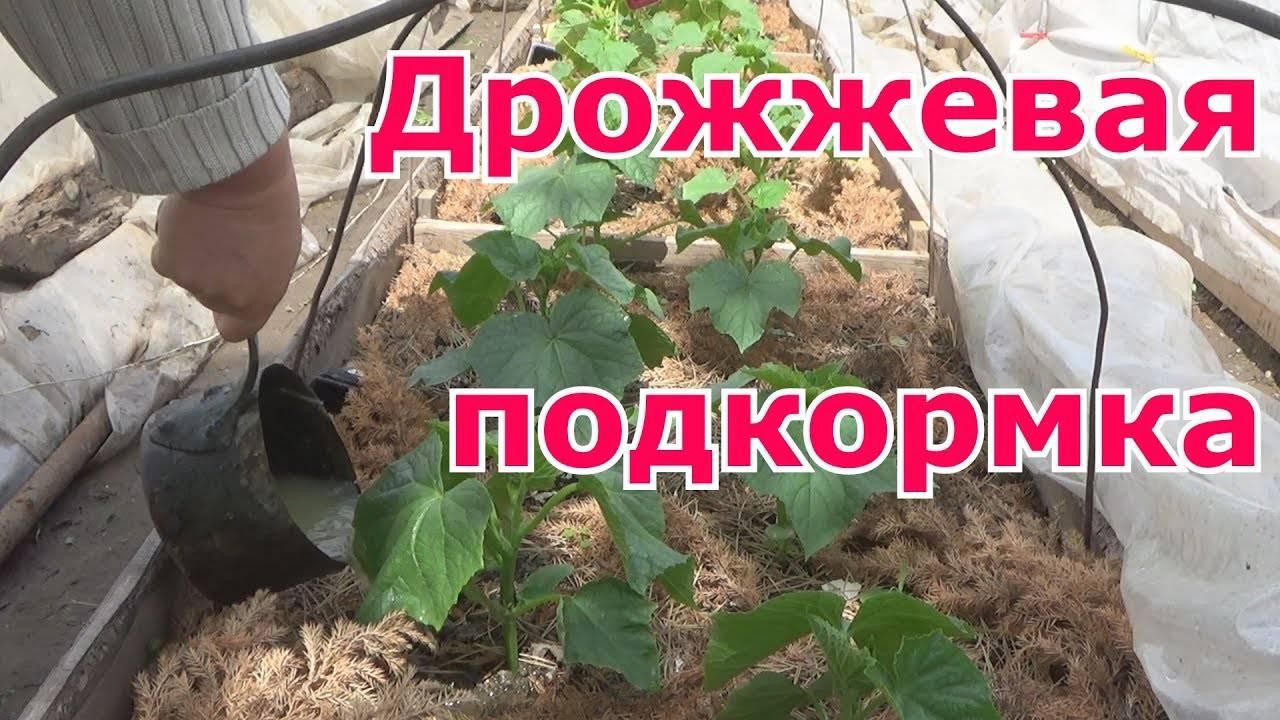 Первая подкормка огурцов - правильная подкормка и народные методы удобрения огурцов (80 фото + видео)