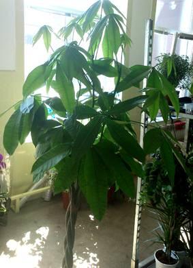 Пахира (pachira). как вырастить, уход, размножение. | floplants. о комнатных растениях