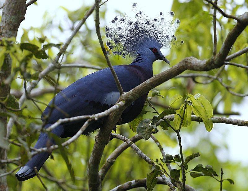 Описание видов и пород голубей с фото