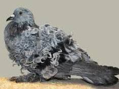 Методы определения пола у голубей