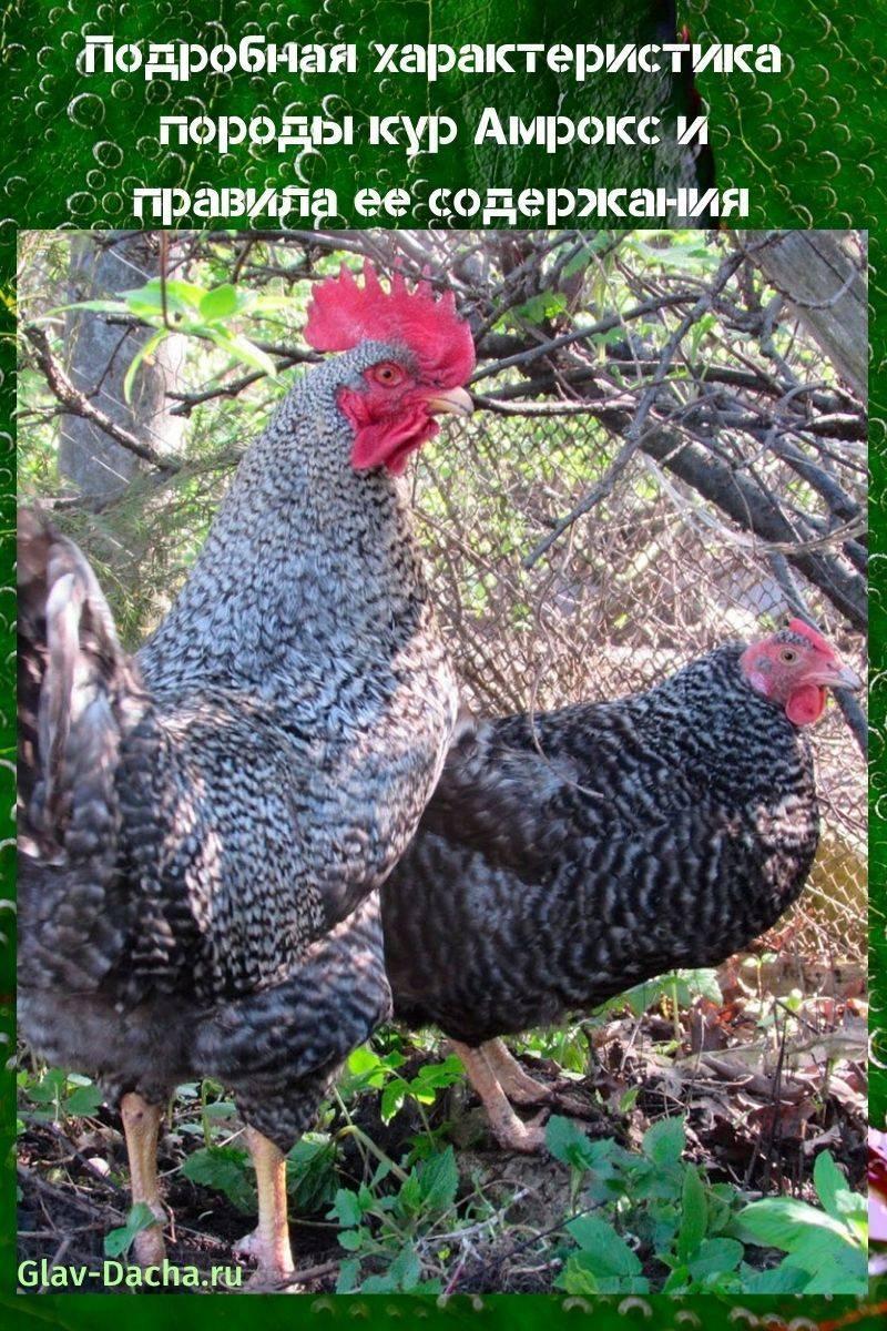 Амрокс порода кур – описание, содержание, фото и видео