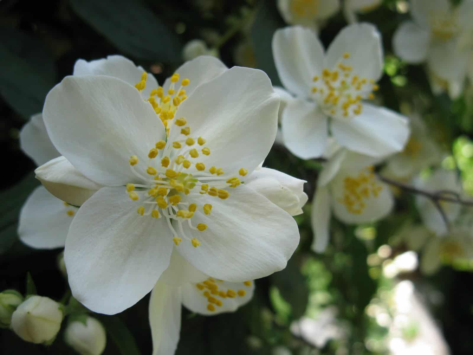 Жасмин – посадка, уход и размножение кустарника