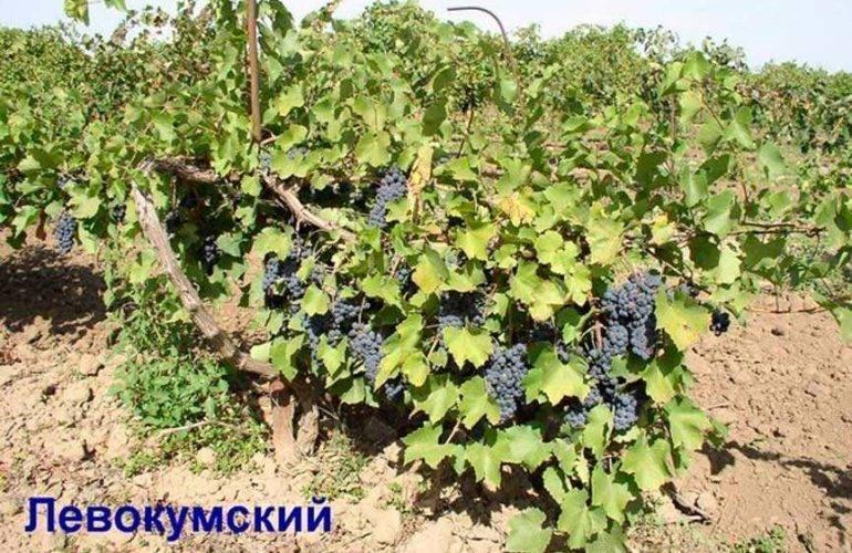 Виноград левокумский: описание и характеристики сорта, выращивание и уход с фото