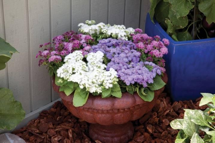 Цветы агератум: виды и сорта, выращивание и уход