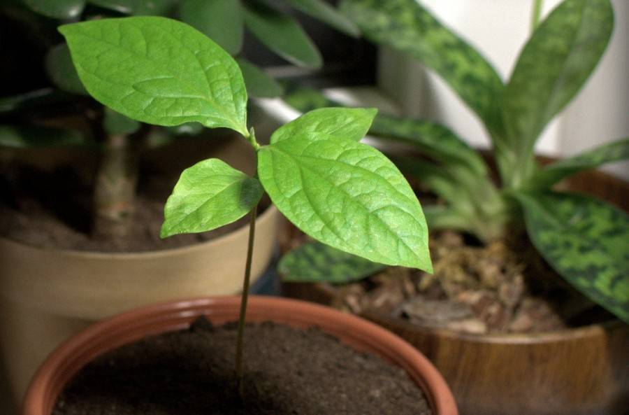 Как вырастить хурму из косточки в домашних условиях? - огород, сад, балкон - медиаплатформа миртесен