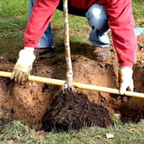 Как посадить грушу весной и осенью – пошаговое руководство