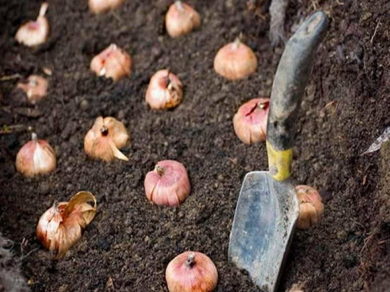Как выращивать гладиолусы: подготовка к посадке, когда сажать весной и особенности выращивания