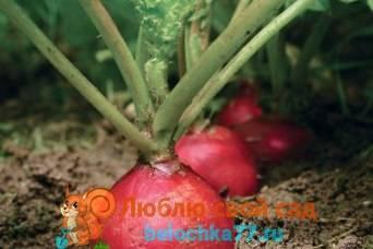 Редиска в теплице зимой: выращивание и уход, выращивание как бизнес