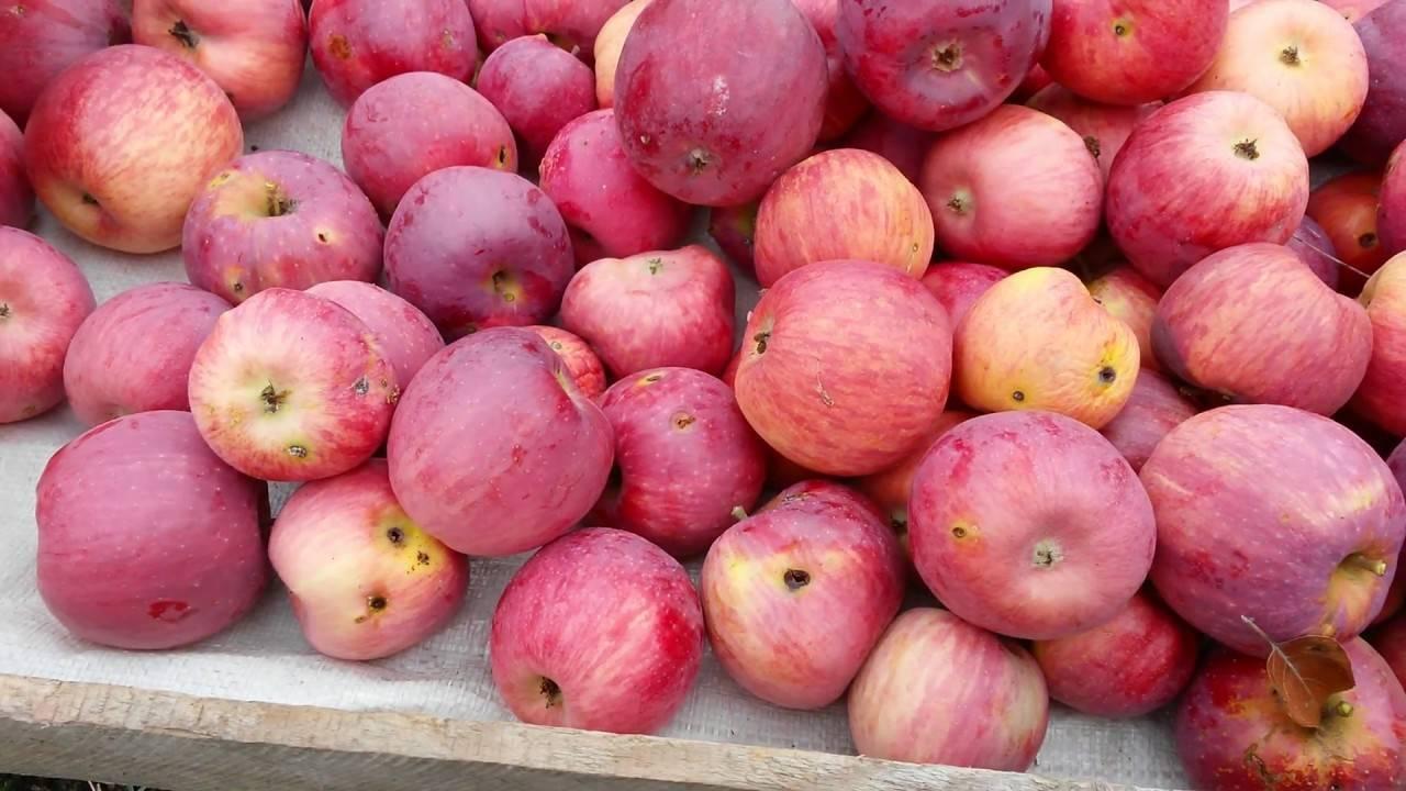 Позднеспелая яблоня орловский синап: описание, фото