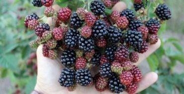Ежевика блэк сатин - отзывы, описание, выращивание