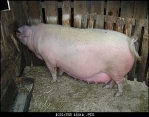 Поросята, домашняя свинья, свиноматка и свиноводство, виды и как выглядят