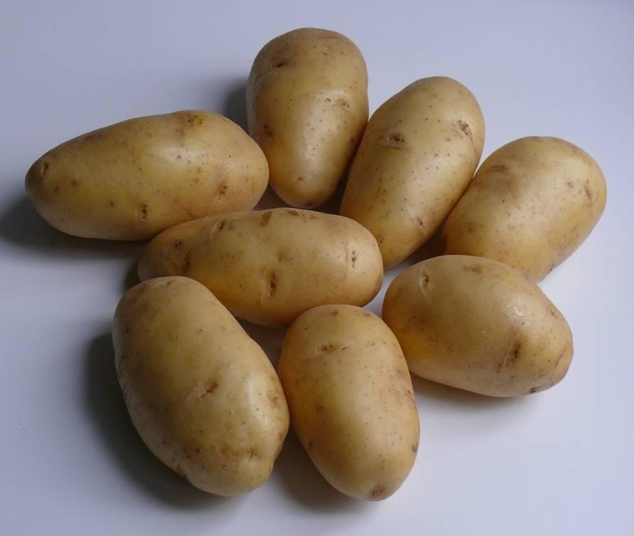 ᐉ сорта картофеля для восточно-сибирского региона: список - roza-zanoza.ru
