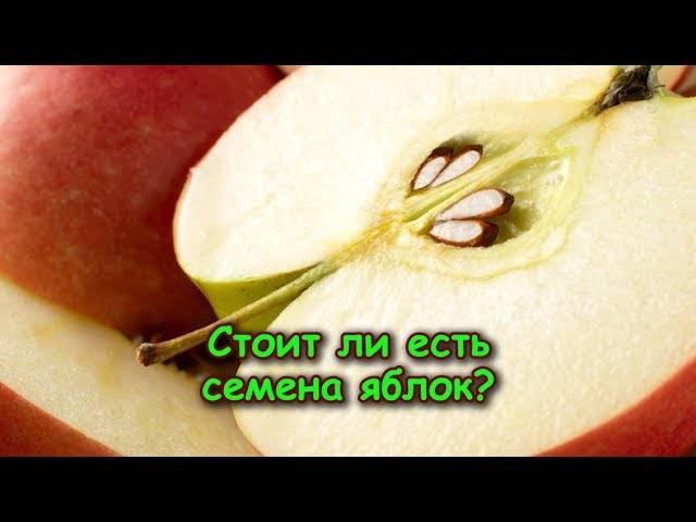 Можно ли есть косточки от яблок, их польза и вред отравление.ру