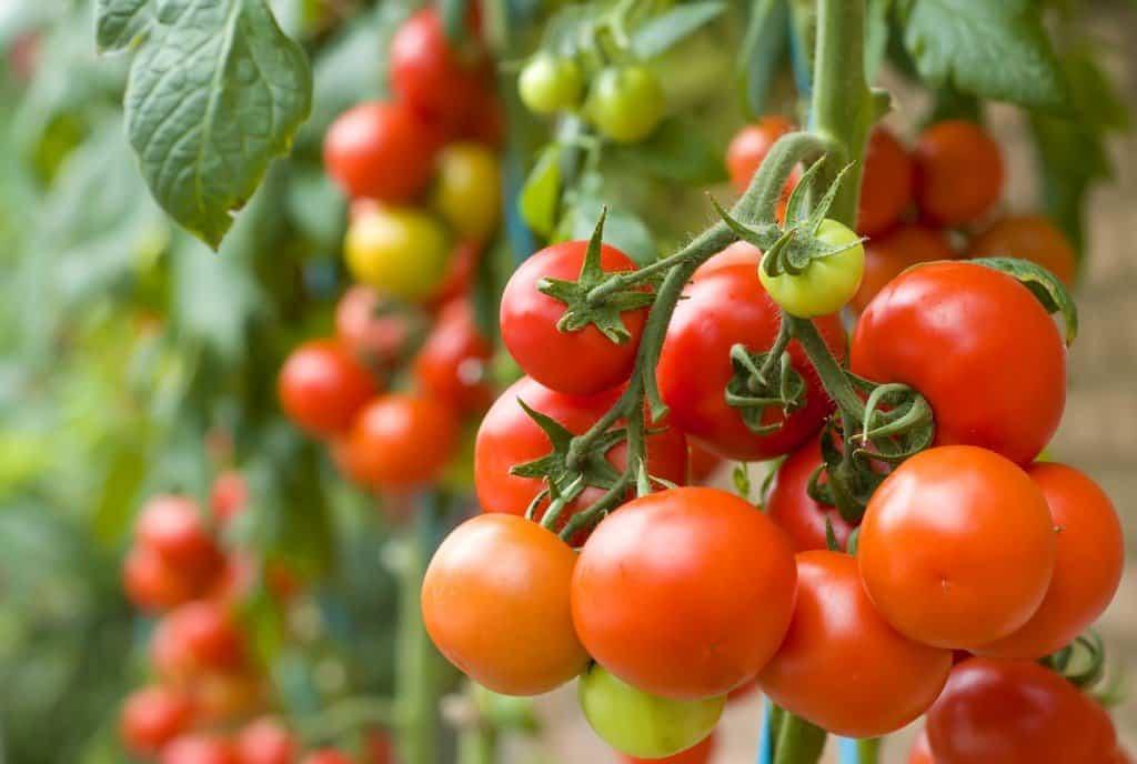 Пасынкование помидоров разных сортов: когда и как