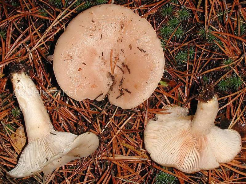 Млечник (род грибов)