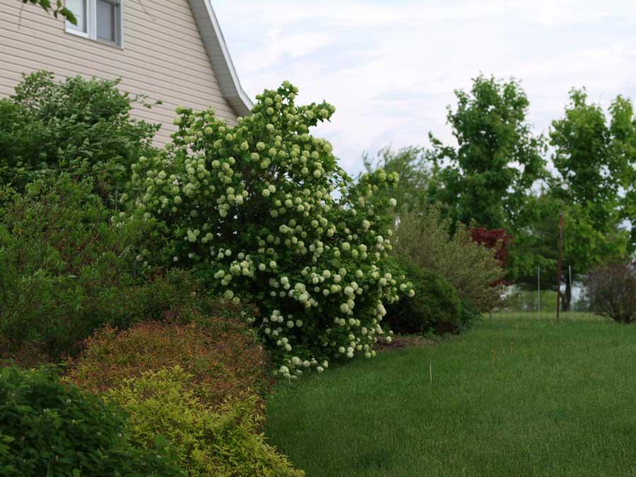 Калина обыкновенная украсит участок и даст урожай целебных ягод