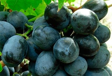 Виноград руслан - описание фото видео + секреты выращивания